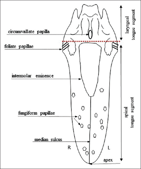 Figure 1: Schematic drawing of the rat tongue. The dotted line depicts the division of the tongue into laryngeal and apical tongue segments